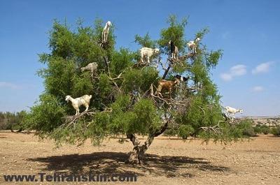 argan oil goats 2 - همه چیز درباره روغن آرگان اصل و تقلبی!